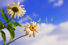 Daisies against blue sky Royalty Free Stock Images