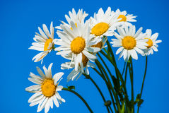 Daisies against blue sky Stock Images