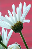 Daisies against a red background Royalty Free Stock Images
