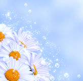 Daisies against the sky Stock Images