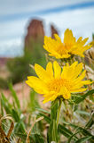 Daisies at Arches. Daisies on Park Ave. at Arches Royalty Free Stock Photos