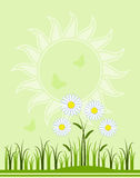 Daisies background Stock Images