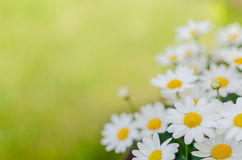 Daisies background Royalty Free Stock Photos