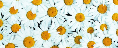 Daisies background. Banner / Panorama Royalty Free Stock Photo