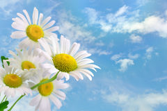 Daisies. On a background of clouds Stock Images