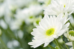 Daisies background with copyspace Stock Image