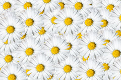Daisies background Stock Photography