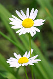 Daisies on a background of green grass. Two daisies on a background of green grass Stock Photo