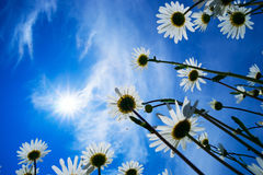 Daisies on a background of Sunny sky. Stock Photography