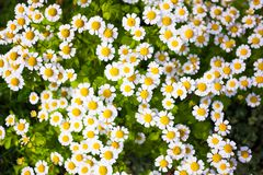 Daisies background. Whie daisies bloom floral background Royalty Free Stock Images