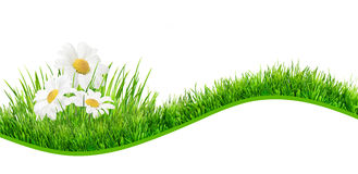 Daisies banner. Three daisies in a green grass isolated on white background Stock Photos