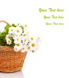 Daisies in basket Stock Image
