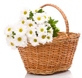Daisies in basket Royalty Free Stock Images