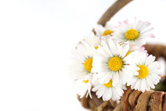 Daisies in a basket. A few daisies in a basket stock photos