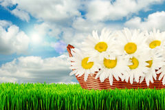 Daisies in basket Stock Photos