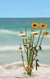 Daisies on the Beach Stock Photos