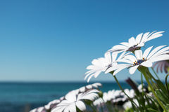 Daisies by the beach. Lavender Frost daisies growing at the beach with horizon in background Stock Photos