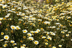 Daisies in a beautiful field stock photography