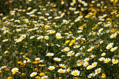 Daisies in a beautiful field royalty free stock image