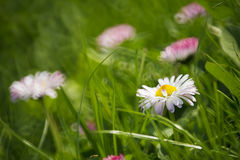 Daisies. Beautiful daisies in the grass stock photos