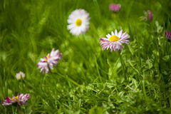 Daisies. Beautiful daisies in the grass royalty free stock photo