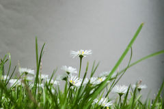 Daisies - Bellis perennis Stock Images