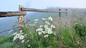 Daisies. These big daisies growing in the wild in the Ukrainian Carpathians. Every morning every morning fog enveloping this place Stock Image