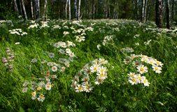 Daisies in a birch grove Royalty Free Stock Photos