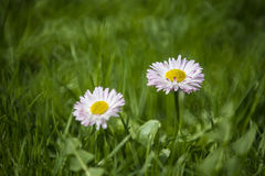 Daisies. In bloom in the grass stock image