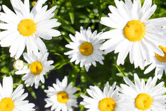 Daisies In Bloom Royalty Free Stock Photos