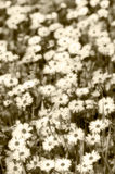 Daisies in bloom, vintage miniature style Royalty Free Stock Images