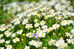 Daisies blooming in Auckland Botanic Gardens Stock Image