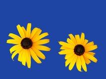 Daisies on blue background. Two orange daisies isolated on blue background Stock Photo