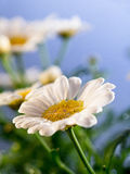 Daisies before blue background Royalty Free Stock Photo