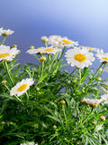 Daisies before blue background Stock Photos