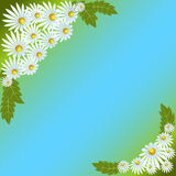 Daisies on blue background. Greeting card, white daisies with leaves on blue-green background, vector illustration Stock Image