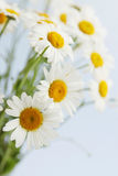 Daisies on a blue. Bouquet of large white daisies on a blue background Royalty Free Stock Photography