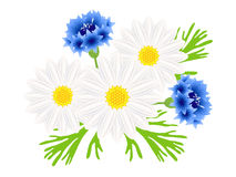 Daisies with blue cornflowers on a white background. Daisies with blue cornflowers on a white background, beautiful illustration Royalty Free Stock Photos