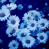 Daisies with blue filter Stock Image