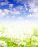 Daisies and  blue sky Royalty Free Stock Photography