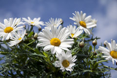 Daisies with blue sky. Close up of daisies with background of blue sky and clouds Royalty Free Stock Photo
