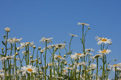 Daisies on a blue sky Stock Photos