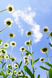 Daisies on blue sky Stock Images
