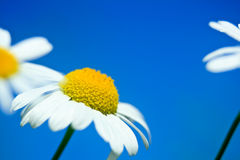 Daisies in a blue sky Stock Photos