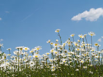 Daisies of blue sky Royalty Free Stock Photos
