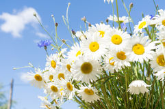 Daisies on blue sky background Royalty Free Stock Photo