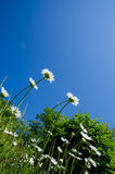 Daisies at blue sky Stock Image