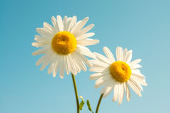 Daisies and blue sky Stock Photo