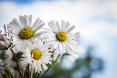Daisies and blue sky Royalty Free Stock Image