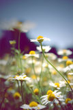 Daisies bokeh background Royalty Free Stock Images